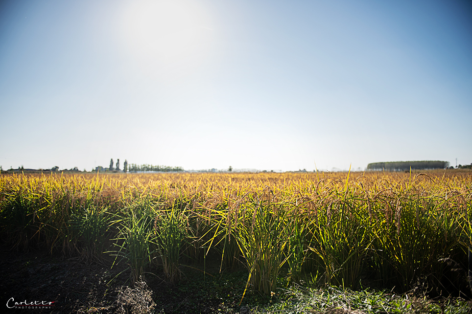 Reisfeld in Italien